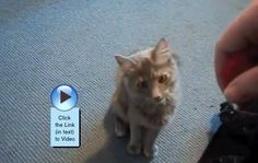 Another cat playing fetch? Thought it was a dog thing!  http://www.catvideooftheweek.com/videos/view/2518  #cvotw