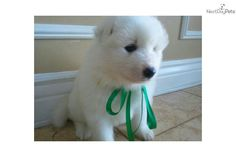 You'll love this Male Samoyed puppy looking for a new home.