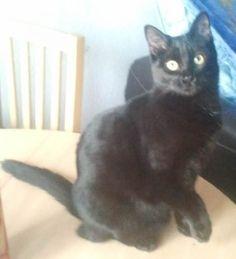 Coka-Cartoon est un tout jeune chat noir doux, câlin et très sociable.  Habitué aux enfants et aux autres chats. AEVANA (Association d'Entraide Veillons A Nos Animaux)(Alpes-de-Haute-Provence)