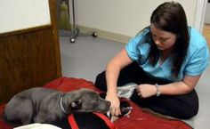 """This Dec. 5, 2013 photo shows Stephany Haswell, a vet tech with Denkai Community Veterinary Clinic in Eaton, Colo., checks on a dog as it com..."""