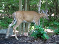 White-tailed deer (Odocoileus virginianus) exiting backstage right at the J. Harold Williams Amphitheatre -- no zoom lens. On the Orange Trail in Camp #Yawgoog, Rockville, Hopkinton, Rhode Island (RI).  A July 6, 2014, image by David R. Brierley.