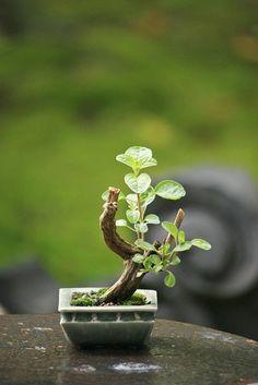Mini Bonsai『展示に出した盆栽』