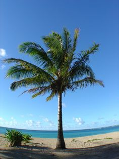 Coconut Palm Tree Anini Beach Kauai Hawaii. #beach #kauai #hawaii palm tree, coconut palm, at the beach, beach kauai, anini beach
