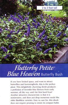 Mini Butterfly Bush