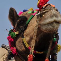 Camel from the Pushkar Camel Festival, India ... Where can I buy this picture?