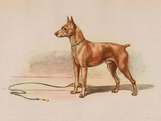 Miniature Pinscher finished painting by Edwin Megargee
