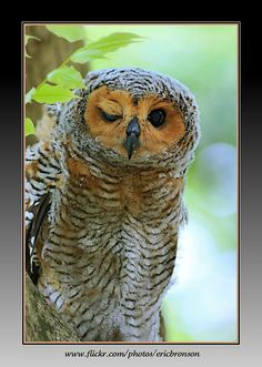 Pottie Wood Owl Chick