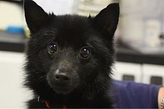 No Longer Listed fir Adoption..Hoping for a Happy Ending!    Petango.com – Meet Scruggs, a 4 years Schipperke / Mix available for adoption in VOORHEES, NJ