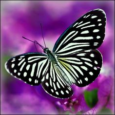 Butterfly between the bougainvilleas