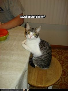 funny cat pictures - So, what's for dinner?