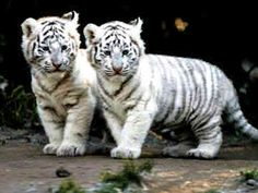 White Siberian Tiger. SO beautiful