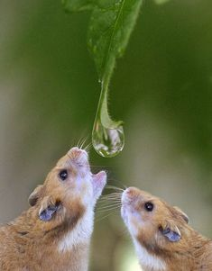 animals, water drops, animal photography, drinking, hamsters, amazing nature, dew drops, drinks, animal photos