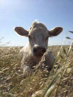 a calf at Farm Sanctuary Watkins Glen, NY