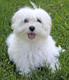 Beau the Maltese - I love dogs that look like muppets!