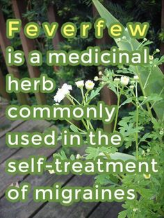 Feverfew is a medicinal herb commonly used in the self-treatment of migraines