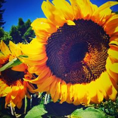 The Green Phone Booth: Why Every Garden Needs Sunflowers