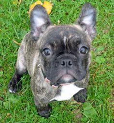 French bulldog terrier mix