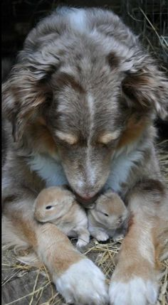 rabbit, australian shepherds, pet, baby bunnies, baby dogs, puppi, baby animals, animal babies, friend