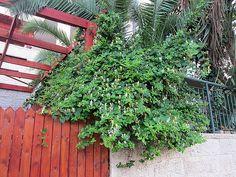 Maale Adumim, Israel - Gardens, 06 neighborhood (צמח השדה), honeysuckle (יערה)