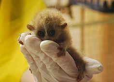 Newborn pygmy slow loris... holy crud, this is cute!!!