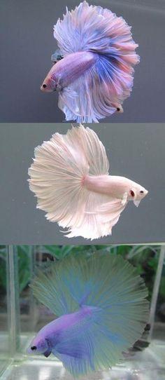Very cool Beta Fish