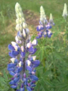 Love the Lupin