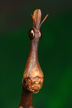 The Horsehead Grasshopper is from Western South America, more specifically the jungles of Ecuador and Peru.