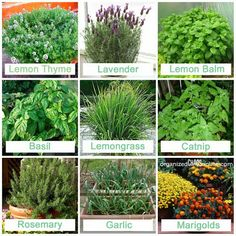 Plants mosquitos hate.-- need to plant these around my yard!