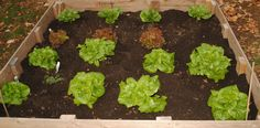 Raised Garden Bed with Lettuce