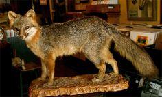 Mounted fox.