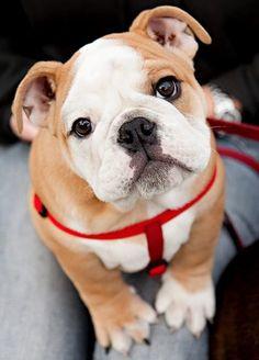 Bulldog puppy is cute as a button :)    #English #Bulldog #pup