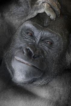 Gorilla  Photograph