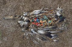 A sea bird killed by plastic pollution - it's body is filled with bits of plastic :(