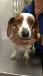 #TEXAS ~ Picasso is an #adoptable Dachshund Dog in #Colleyville with Dallas-Fort Worth Dachshund Rescue Foundation ph  817-481-9272