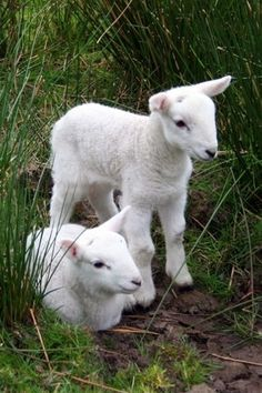 Baby lambs so clean and new!