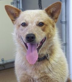 NO LONGER LISTED - #UTAH #U ~ ID 11684 is a Red Heeler / Australian Cattle Dog in need of a loving #adopter / #rescue at Sevier County Animal Shelter  2555 N  Interchange Rd  #Sigurd UT 84657 seviercountypetadoptions@yahoo.com Ph 435-896-5370