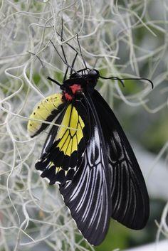 ~Golden Birdwing~