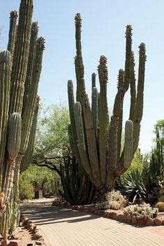 Cacti at Desert Botanical Garden , Phoenix, Arizona