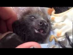 Cute orphan flying-fox (bat) babies eat fruit.