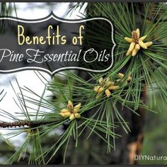 Pine Needles - Benefits of Pine and Pine Essential Oil-DIY naturally