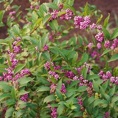 Purple Beautyberry - Purple beautyberry bears clusters of pink blooms along its stem in late summer. The flowers develop into iridescent purple berries in fall. In Zone 5, beautyberry may die back over winter, but will resprout from the base to produce a full crop of flowers and fruits. The shrub is quite drought tolerant. Name: Callicarpa dichotoma Growing Conditions: Full sun to part shade; well-drained soil Size: 4-5 feet tall and wide Zones: 6-8