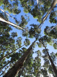eucalyptus trees on the Big Island