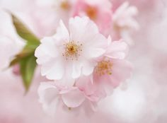 . pink flowers, cherri blossom, favourit flower, cherry blossoms