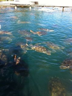 The Grand Caymen turtle farm is so cool!