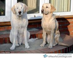 Blind Dog Gets His Own Guide Dog, Labradors are the BEST! love!!!!!!!!