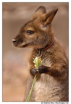 ~~Bennetts wallaby. Red-necked wallaby. Micropus rufogiseus by Stephen Bay~~