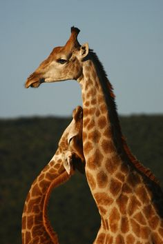 mama & baby giraffe