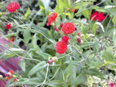 Emilia coccinea (tassel flower) is a lovely & delicate flower. Photo by DC Tropics.