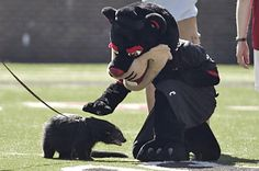 The Bearcat (in costume) is petting the official mascot of UC - Lucy the Bearcat!