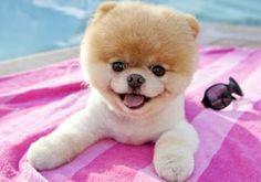 Gotta love Boo the Pomeranian!